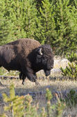 American Bison portrait taken in Yelowstone National Park — Stock Photo