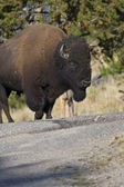 American Bison on the move in Yelowstone National Park — Stock Photo