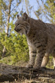 Adult Bobcat looks out for prey — Stock Photo