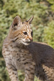 Young Bobcat sits on a rocky ledge — Stock Photo