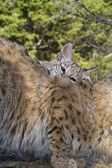 Kitten Bobcat nuzzles up with his mom for attention — Stock Photo