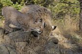 Kitten Bobcat nuzzles up with his mom for some food — Stock Photo
