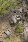 Adult Bobcat sits on a rocky ledge during the heat of summer — Stock Photo
