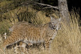 Adult Bobcat walks through the woodlands — Stock Photo