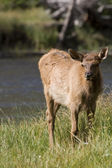 Young Elk fawn grazing in a meadow near a river in Yellowstone National Park — Stock Photo