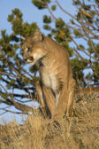 Something Catches This Cougar's Eye — Stock Photo