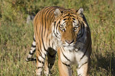 A Siberian Tiger Looking Right At You — Stock Photo