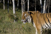 A Siberian Tiger Senses Something Nearby — Stock Photo