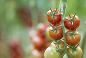 Tomato growing in a greenhouse — Stock Photo