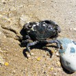 A marine crab is washed water ashore the Black sea — Stock Photo #12553754