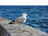 Marine gull by CU soaring in sky above a sea — Stock Photo