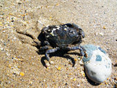 A marine crab is washed water ashore the Black sea — Stock Photo