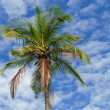 Palm tree — Stock Photo #15731671