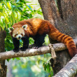 Red panda in nature — Stock Photo #25974135