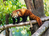 Red panda in nature — Stock Photo