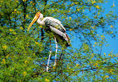 Painted stork bird — Stockfoto