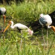 Painted stork bird — Stock Photo