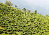 Champ de thé vert — Photo