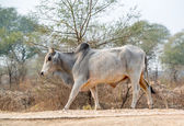 Bull striding on a road — Stock Photo