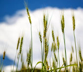Wheat cones and blue sky with clouds — Stock Photo
