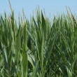 Corn in field — Stockfoto #22088599