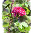 Red rose on a rosebush branch. With background. — Stock Photo