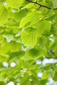 Linden leaves — Stock Photo