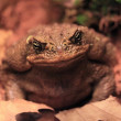Toad — Stock Photo #12869462