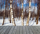 Birch forest — Photo