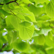 Linden leaves — Stock Photo #13538154