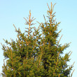 Fir tree — Foto de stock #13868960