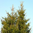 Fir tree — Stockfoto #13868960