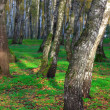 Birch trees — Stock Photo