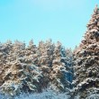 Fur trees — Stockfoto #16926717