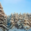 Fur trees — Stockfoto