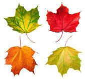 Maple leafs — Stockfoto