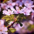 Cherry tree in flowers — Stock Photo