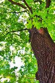 Maple tree — Stock Photo