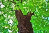 árvore de maple — Foto Stock