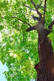 Mapple tree — Stockfoto