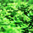 Aquarium plants — Stock Photo #41946751