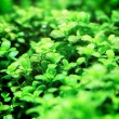 Aquarium plants — Stock Photo #41946759