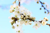 Plum tree — Stock Photo