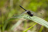 Gragonfly — Stock Photo