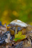 Fall Leaf & Mushroom — Stock Photo