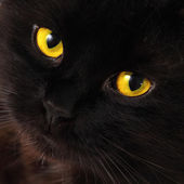 Black cat looking to you with bright yellow eyes — Stock Photo