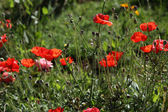 Some poppies on green field in sunny day — Stock Photo