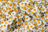 Background of blooming  daisies — Stock Photo