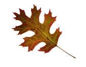 Autumn oak leaf. Isolated. — Stock Photo