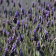 Lavender (Lavandula) flowers - Stock Photo